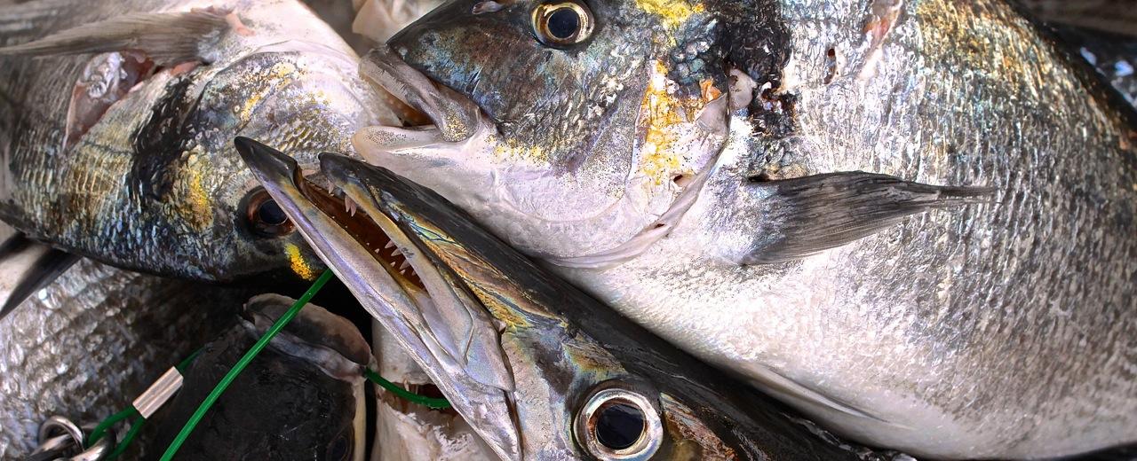 Dorady, Barrakuda iCefale… tobył połów! Ponad 20 kg świeżutkich ryb...